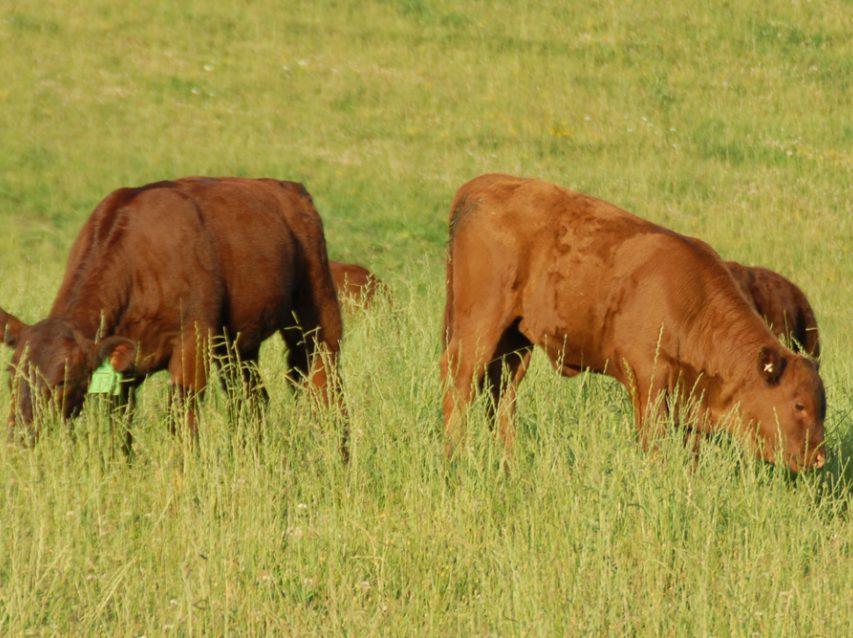 Calves graze summer growth