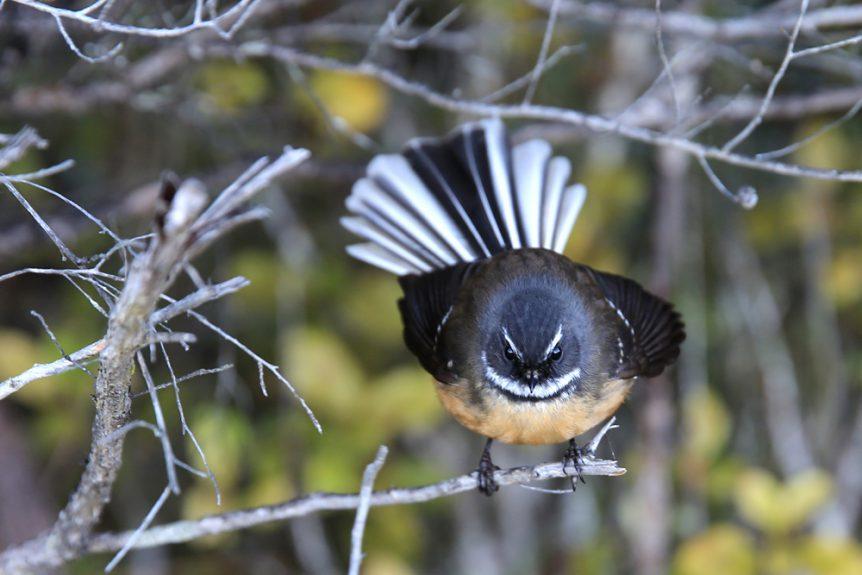 Pīwakawaka (Fantail)