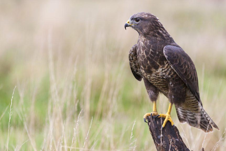 Kārearea (Falcon)