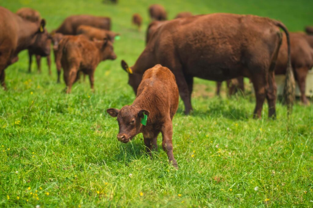 Red Devon calf