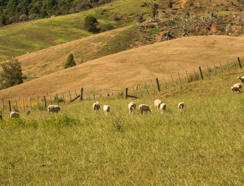 Wiltshire sheep grazing